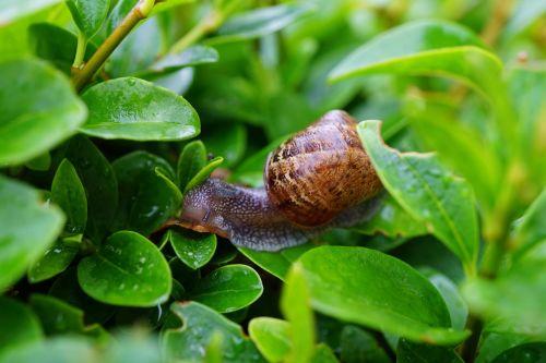 snail hedge green