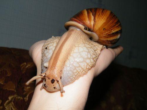 snail achatina slugs