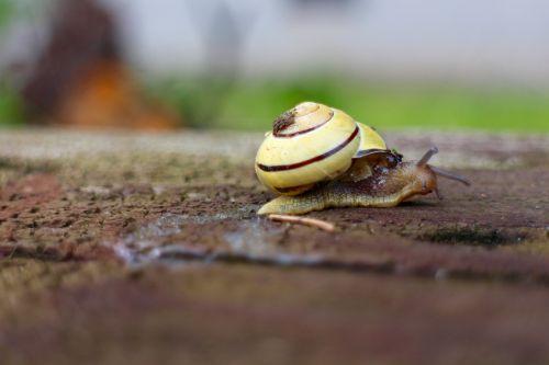 snail wood shell