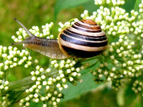 snail garden snail shell