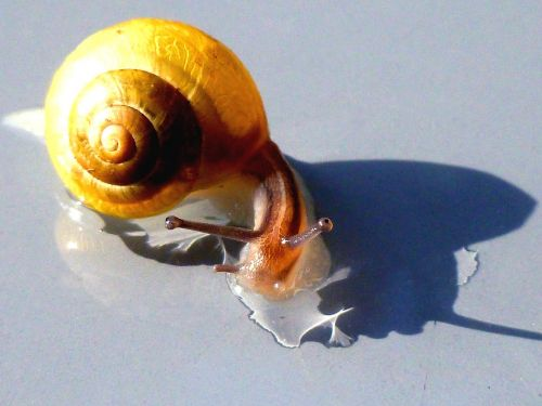 snail shell probe