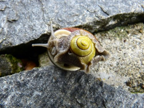 snail,pairing,mollusk,screw in the screw,helix pomatia,country lungenschnecke