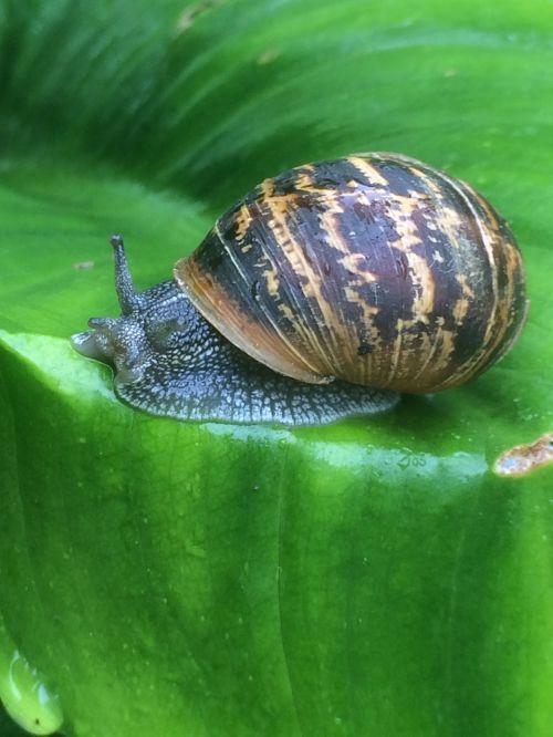 snail leaf fresh