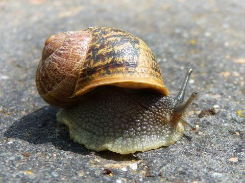 snail gastropod molluscum