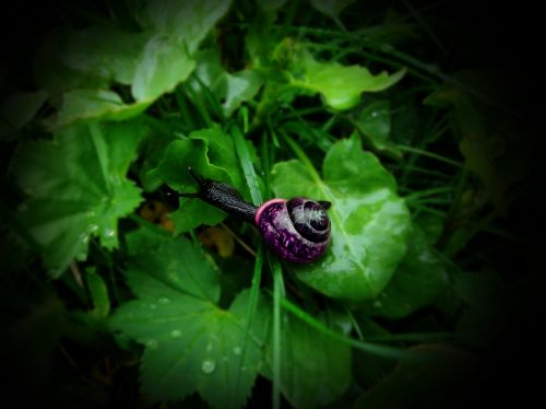 snail black snail purple shell snail