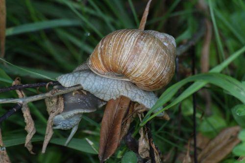 snail grass conch