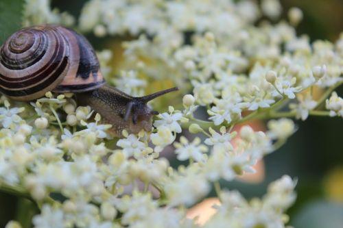 snail flowers flowering