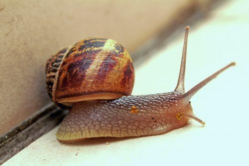 snail slow gastropod