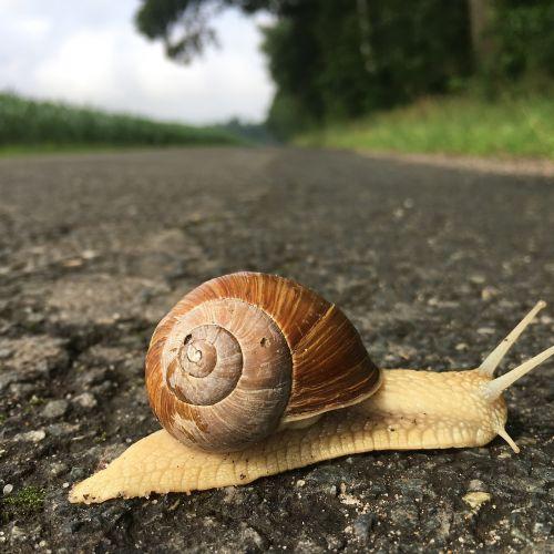 snail slowly shellfish