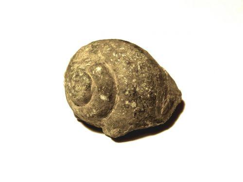 snail fossil vestige