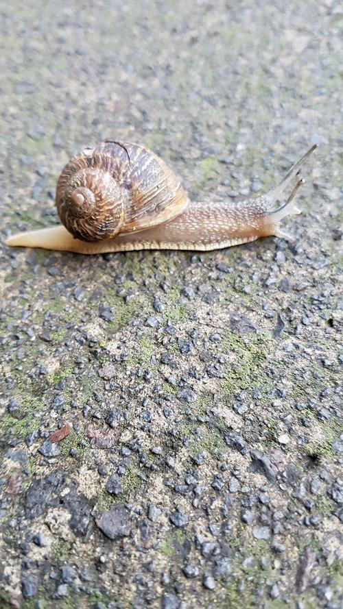 snail  gastropod  nature