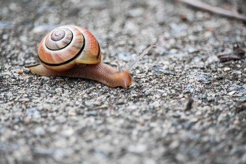 snail  shell  gastropod