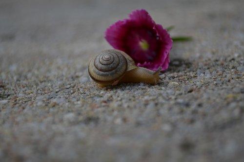 snail  pink  shell