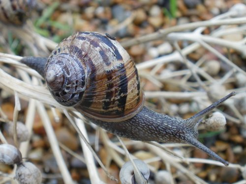 snail  mollusc  animal