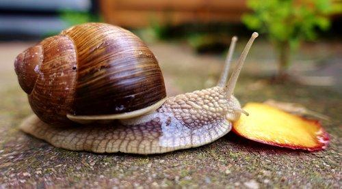 snail  eat  shell