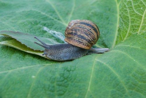 snail  gastropod  leaf