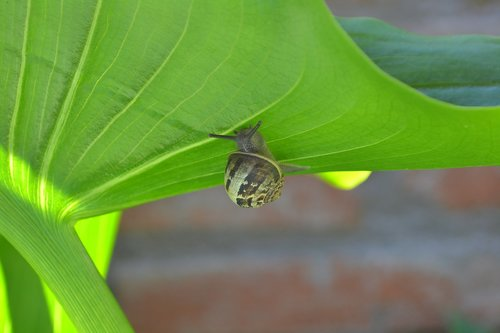 snail  molluscum  leaf