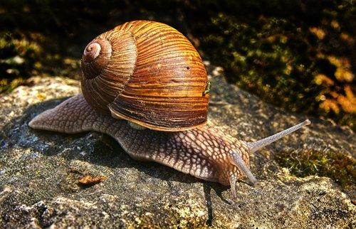 snail  bauchfuesser  snail shell
