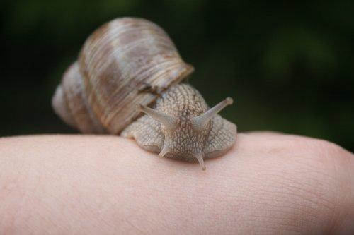 snail  molluscum  molluscs
