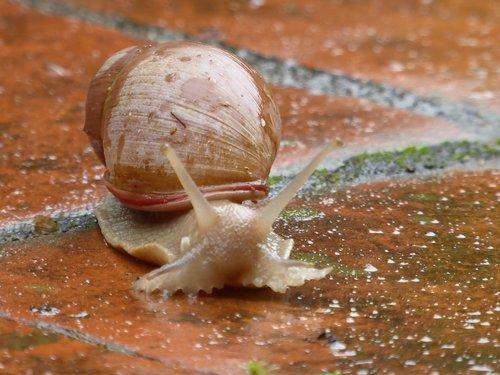 snail  animal  paraguay