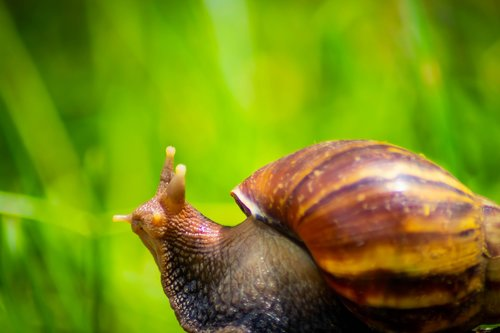 snail  white  african