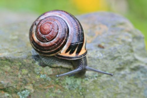 snail shell reptile