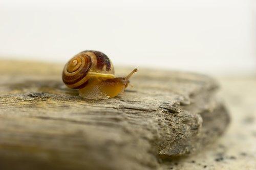 snail  garden bänderschnecke  cepaea hortensis