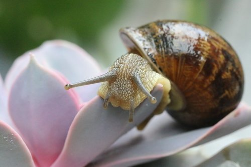 snail  gastropods  shell