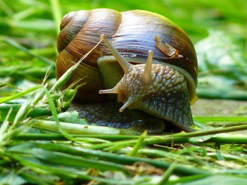 snail weinberschnecke shell