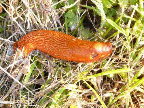 snail red wegschnecke arion rufus