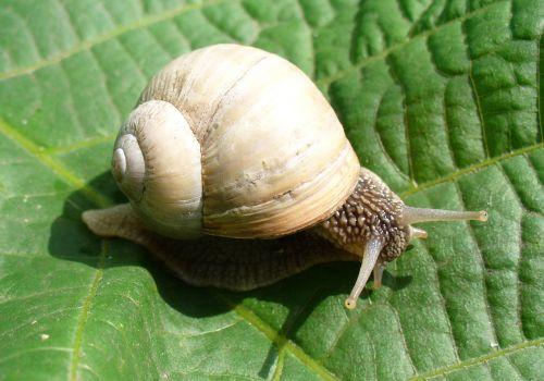 snail burgundy snail roman snail
