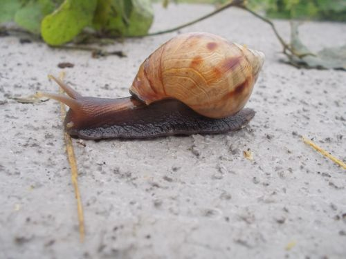 snail achatina fulica giant african snail