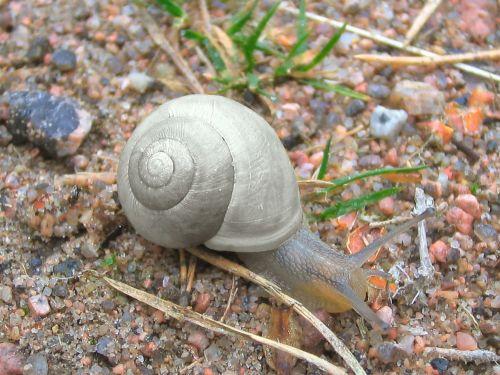 snail mollusc crawling