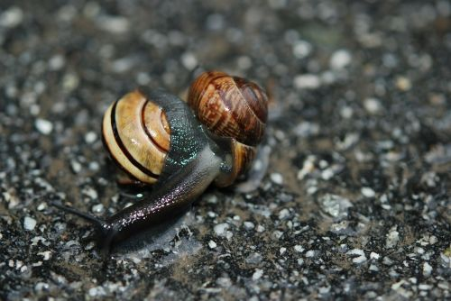 snail love mating