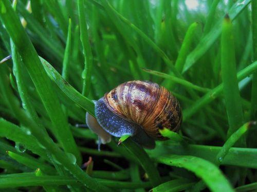 snail in bulbinella snail garden