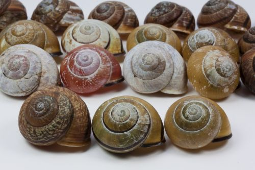 snail shells arianta arbustorum schalenweichtiere