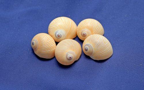 snails shells gastropods