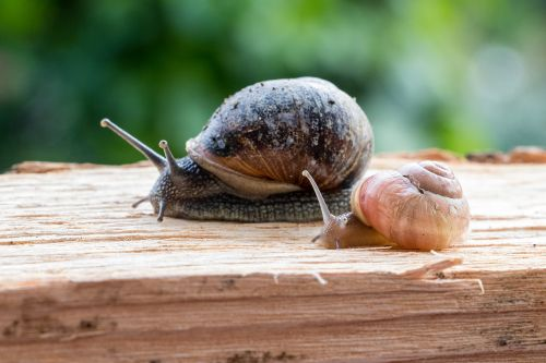 sraigės,sraigės lenktynės,sraigė,mollusk,lukštas,nuskaityti,gamta,gyvūnas