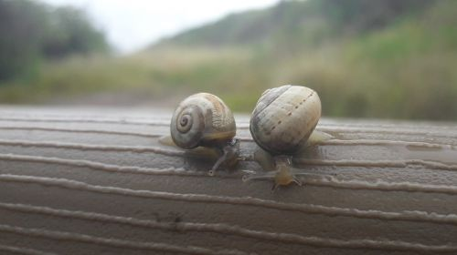 snails insect snail