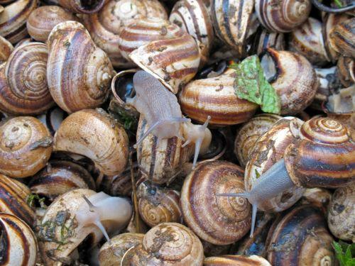 snails escargot delicacy