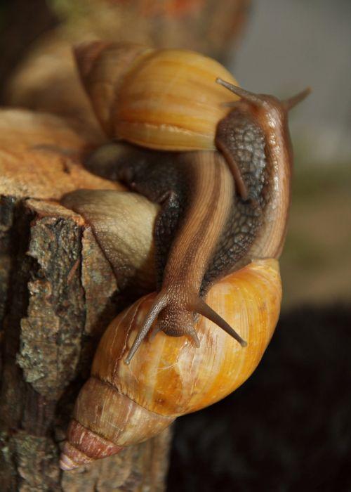 snails african achatina