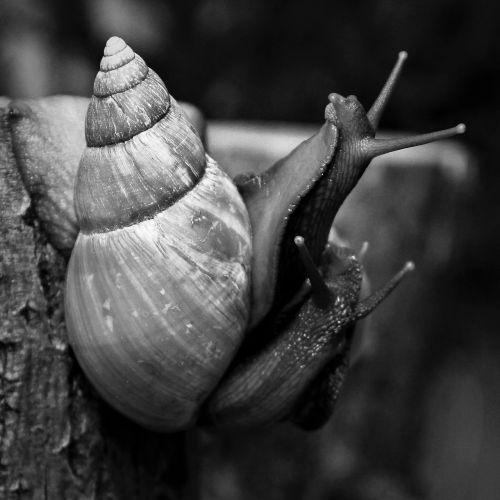 snails achatina african