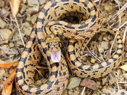 snake threat brown