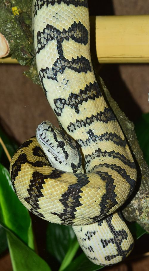 snake carpet python wild animal