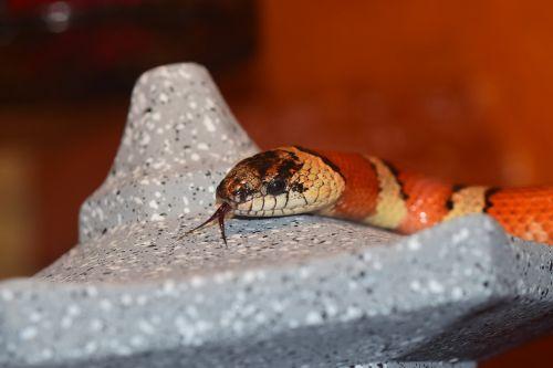 snake non toxic constrictor