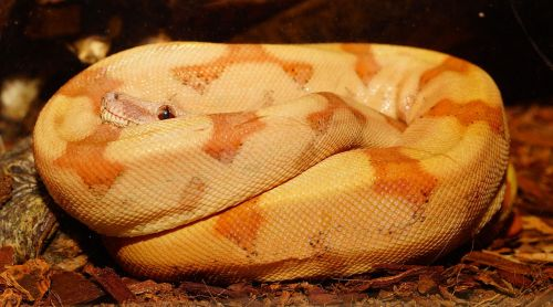 snake boa constrictor imperator young animal