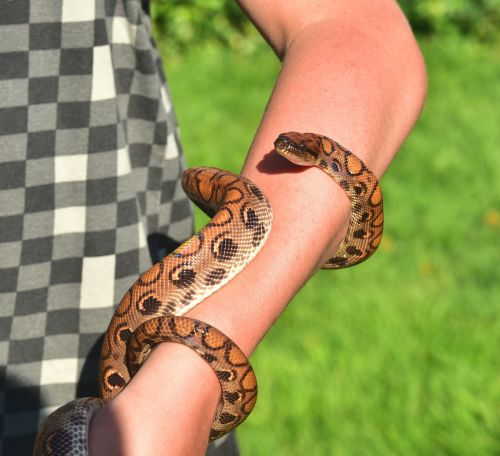 snake red rainbow boa iridescent