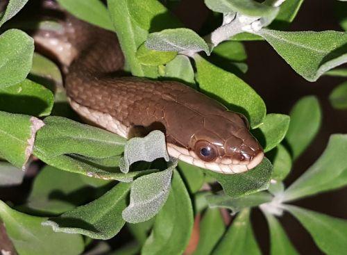 snake graham's crayfish snake reptile