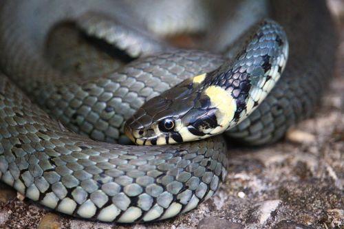 snake grass snake natter