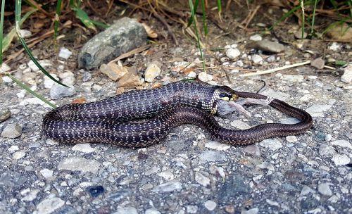 snake mouse prey